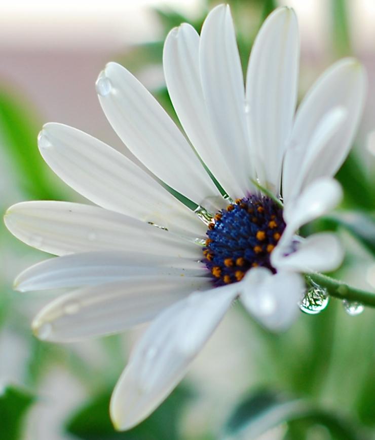 Närbild Vit Blomma