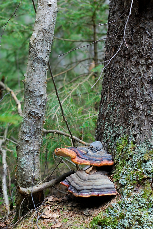 Svamp på träd