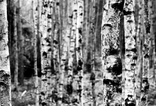 Björkskogslandskap
