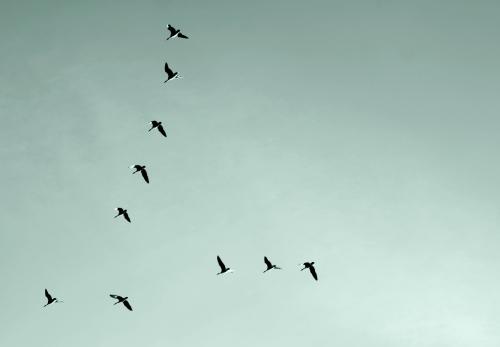 Flyttfåglar