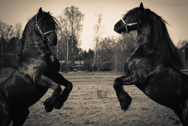 duelling horses