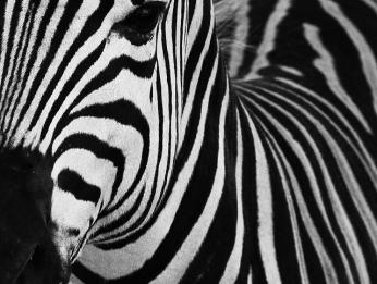 Min Zebra