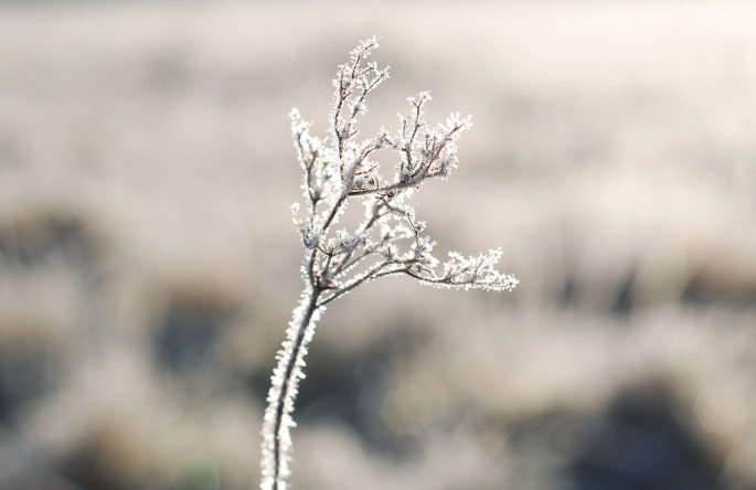 Rimfrost Blomma