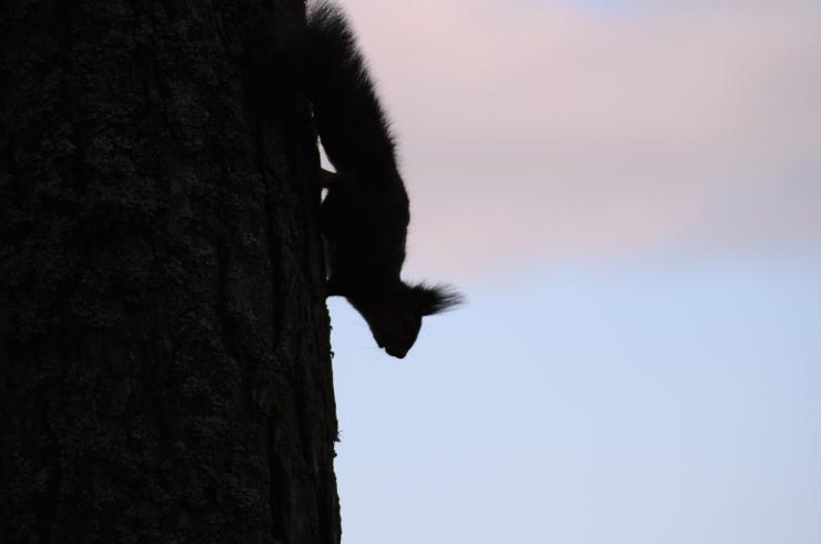 Silhouette ekorre