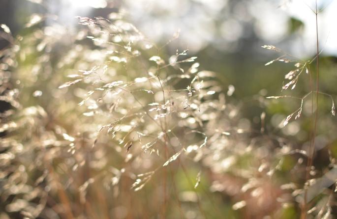 Glimmrande gräs