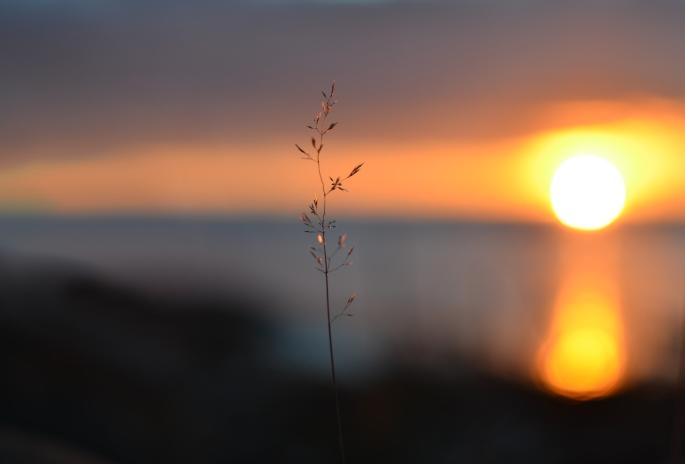 Grässtrå i solnedgång vid Hammarö Sydspets