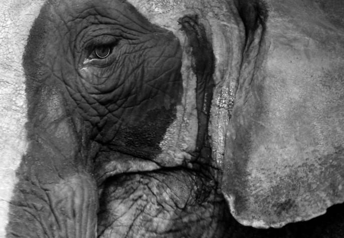 The Black Eye - Elephant