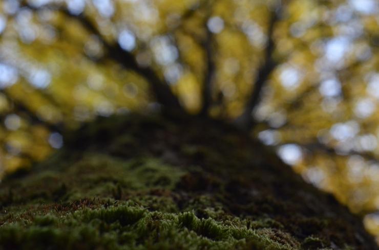 Mossa på höstträd