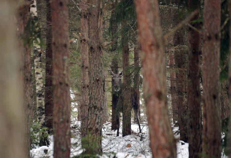 En liten älg kika fram mellan träden