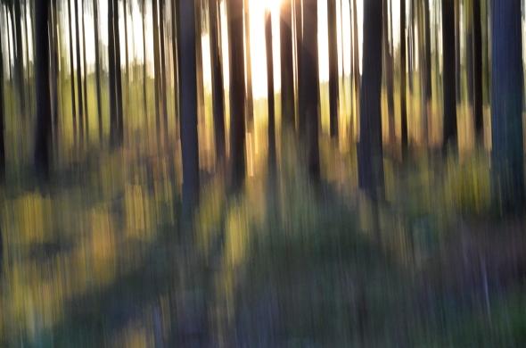 Kvällssol i skogen