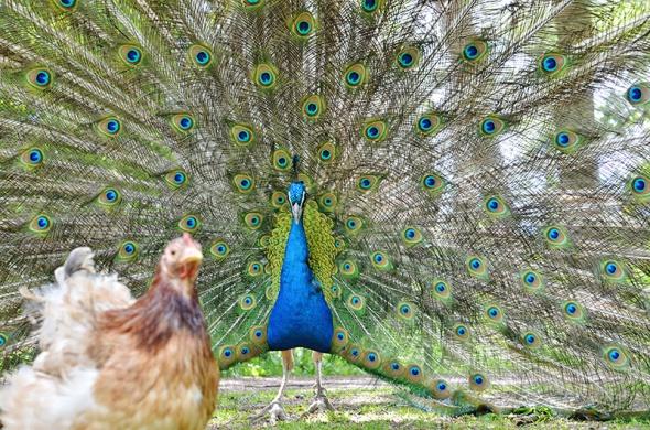 Påfågeln och hönan