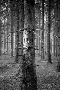 Skogsljus 2.500 kr 40x30 cm (oinramad) upplaga 10 ex. Fotograferad med Leica M6 med Tri-X 400 35mm film.