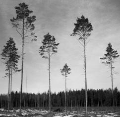 Frötallar 3.000 kr 40x40 cm (oinramad) upplaga 15 ex. Fotograferad med bälgkamera Zeiss Ikonta med Kodak Tri-X 400 120 film.